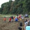 Récolte des patates - Crédit photo : Pomme d'Amap