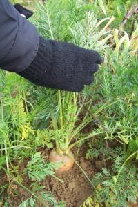 Sortir les carottes