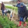 Bêcher les carottes - Crédit photo : Pomme d'Amap