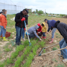 Récolte de carottes - Crédit photo : Pomme d'Amap