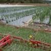 Plantation de semis d'oignons - Crédit photo : Pomme d'Amap