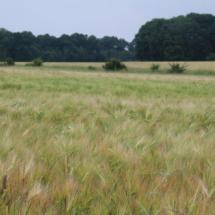 Les blés sont mûrs - 9 juin 2018